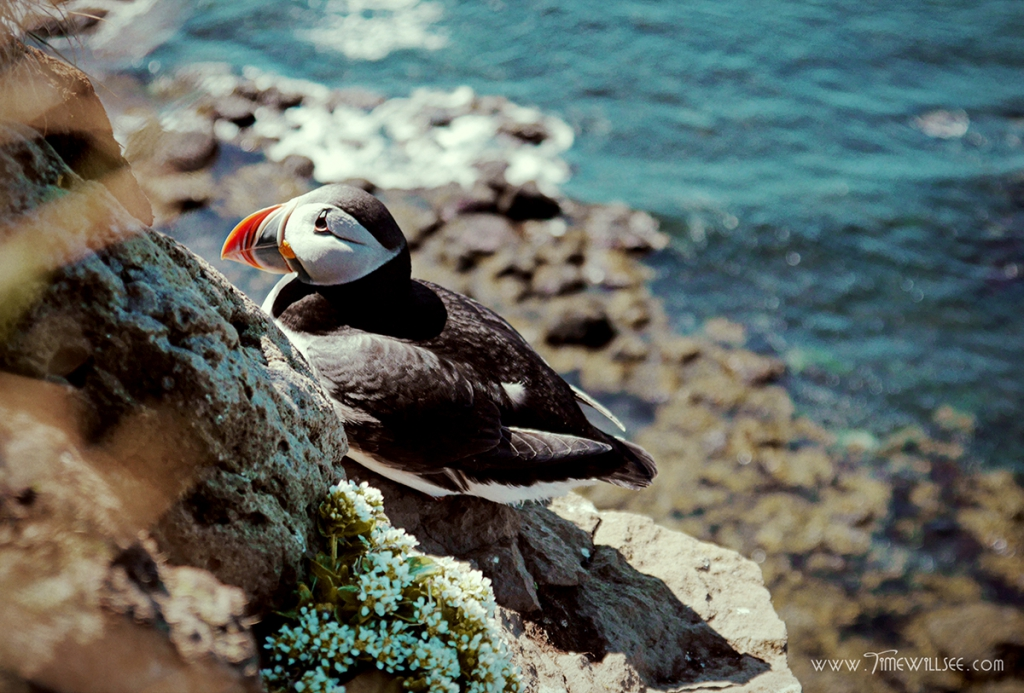Meet Atlantic puffin, a famous icon of Iceland
